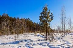Pinjeskogen på bakgrunden av den soliga snön för vinterdagen driver royaltyfria bilder