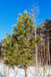 Pinjeskogen på bakgrunden av den soliga snön för vinterdagen driver arkivbild