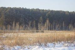 Pinjeskogkant Fotografering för Bildbyråer