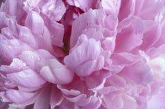 Pink лепестки Стоковое Изображение