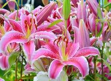 Pink лилия Стоковая Фотография
