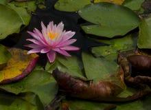Pink лилия стоковая фотография rf