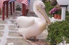 Pink пеликан Стоковые Фотографии RF