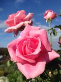 pink розовая стоковые фото
