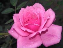 pink розовая стоковое фото