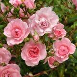 pink розовая стоковое изображение