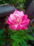 pink розовая Стоковая Фотография RF