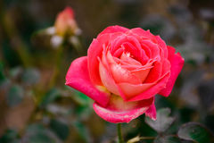 pink розовая Стоковые Фотографии RF