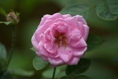 pink розовая Стоковая Фотография