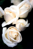 pink розы Стоковые Изображения