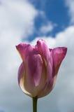 pink тюльпан стоковая фотография