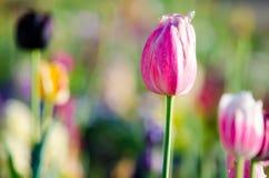 pink тюльпан Стоковые Изображения