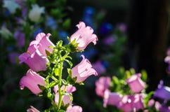 pink тюльпан Стоковые Изображения RF
