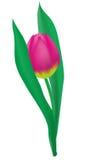 pink тюльпан Стоковое Изображение