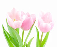 pink тюльпан Стоковые Фото