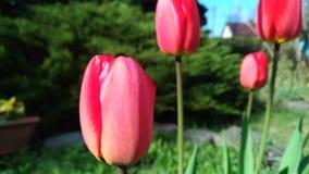 pink тюльпан стоковая фотография rf