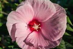 Pink цветок Hibiscus Стоковое Изображение RF