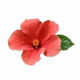 Pink цветок Hibiscus Стоковое Фото