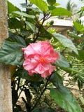 Pink цветок Hibiscus Стоковые Фото