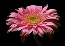 Pink. Flower on the black back ground Royalty Free Stock Photography