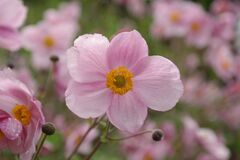 Pink 5 Petaled Flowers Stock Images