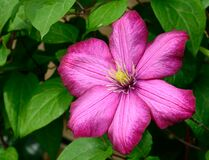 Pink 6 Petaled Flower in Bloom Royalty Free Stock Image