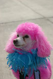 In the Pink. A pink poodle Royalty Free Stock Photo