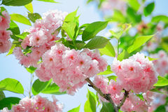 Pink abloom japanese cherry (sakura) blossom. In sunny spring day with beautiful bokeh stock images