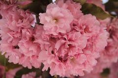 Pink abloom japanese cherrysakura blossoming Royalty Free Stock Images