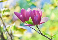 Pink abloom pair of magnolia flower Stock Images