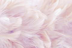 Pink Abstract background Bird and chickens feather texture ,blur style and soft color of art design.  royalty free stock images