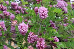 Pink acacia blooms in early summer. Her flowers are very fragrant and beautiful. stock photo