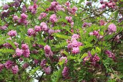 Pink acacia blooms in early summer. Her flowers are very fragrant and beautiful. royalty free stock photos