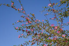 Pink acacia blossom Stock Photo