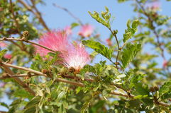 Pink acacia blossom. On the blue sky backgruond Stock Photos