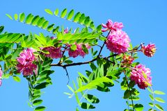 Pink acacia flowers on blue sky background Royalty Free Stock Photo