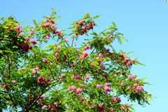 Pink acacia flowers on blue sky background Stock Photography