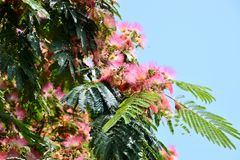 Pink acacia flowers Royalty Free Stock Images