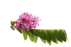 Pink acacia flowers Stock Image