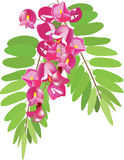 Pink acacia with leaves. Acacia with leaves, vector branch royalty free illustration