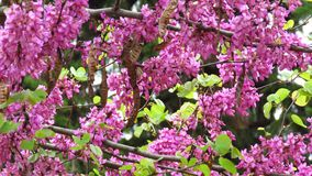 Pink Acacia Tree Blooming Branch and Broun Seed Pods. Acacia Plant Branch Flower royalty free stock photo