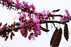 Pink Acacia Tree Blooming. Flowers on a branch in spring royalty free stock photo