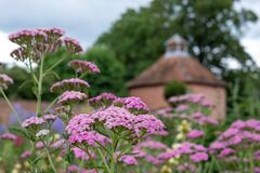 Pink achillea flowers, photographed in mid summer at in the historic walled garden at Eastcote House Gardens, London UK