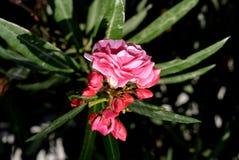 Pink Adelfa Stock Image