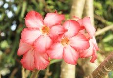 Pink Adenium flower Stock Image