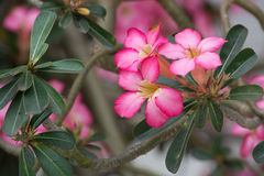 Pink Adenium flowers with green leafs. Royalty Free Stock Images