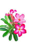Pink adenium flowers Isolate Royalty Free Stock Photography