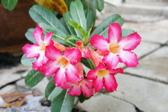 Pink Adenium Obesum Royalty Free Stock Photos