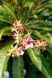 Pink Adenium obesum flower Stock Photos