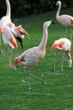 Pink Adult Flamingo Royalty Free Stock Images